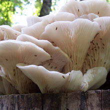Load image into Gallery viewer, Oyster Mushroom Plug Spawn - (Pleurotus spp.)