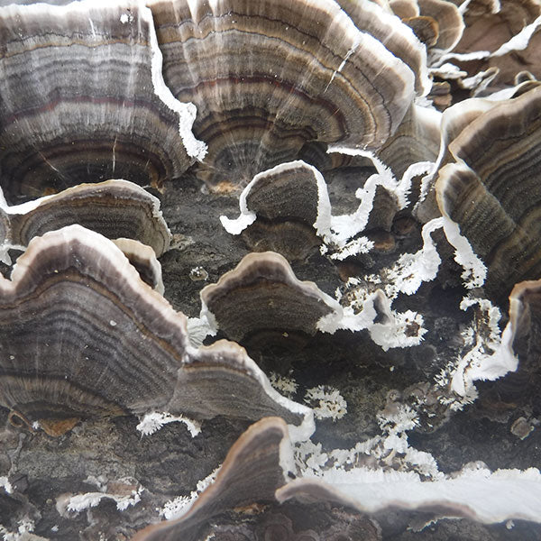 Turkey Tail  Sawdust Spawn- (Trametes versicolor) - 5lb