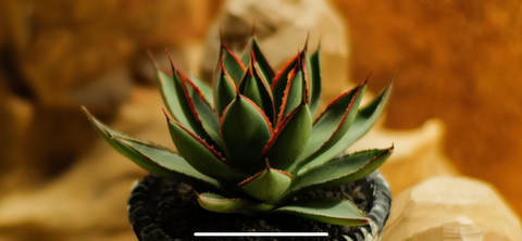 tak-hing-mart-dawn-cross-species-of-agave