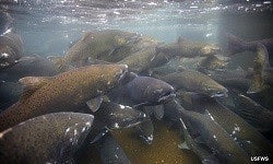 New York's Fall Salmon Migration