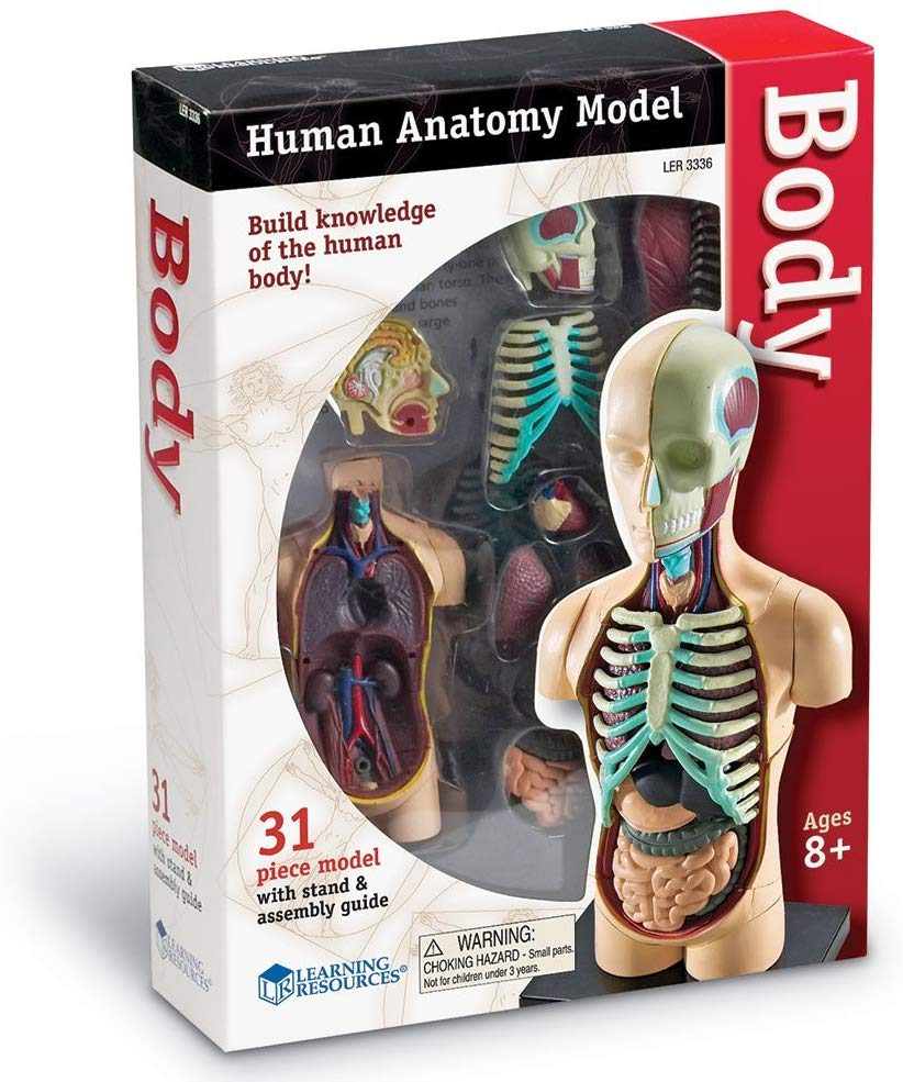 HUMAN BODY ANATOMY MODEL