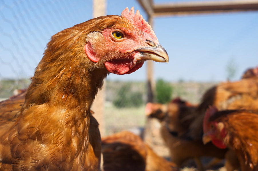 Organic vs. Pastured Poultry: Why Organic is Not Enough
