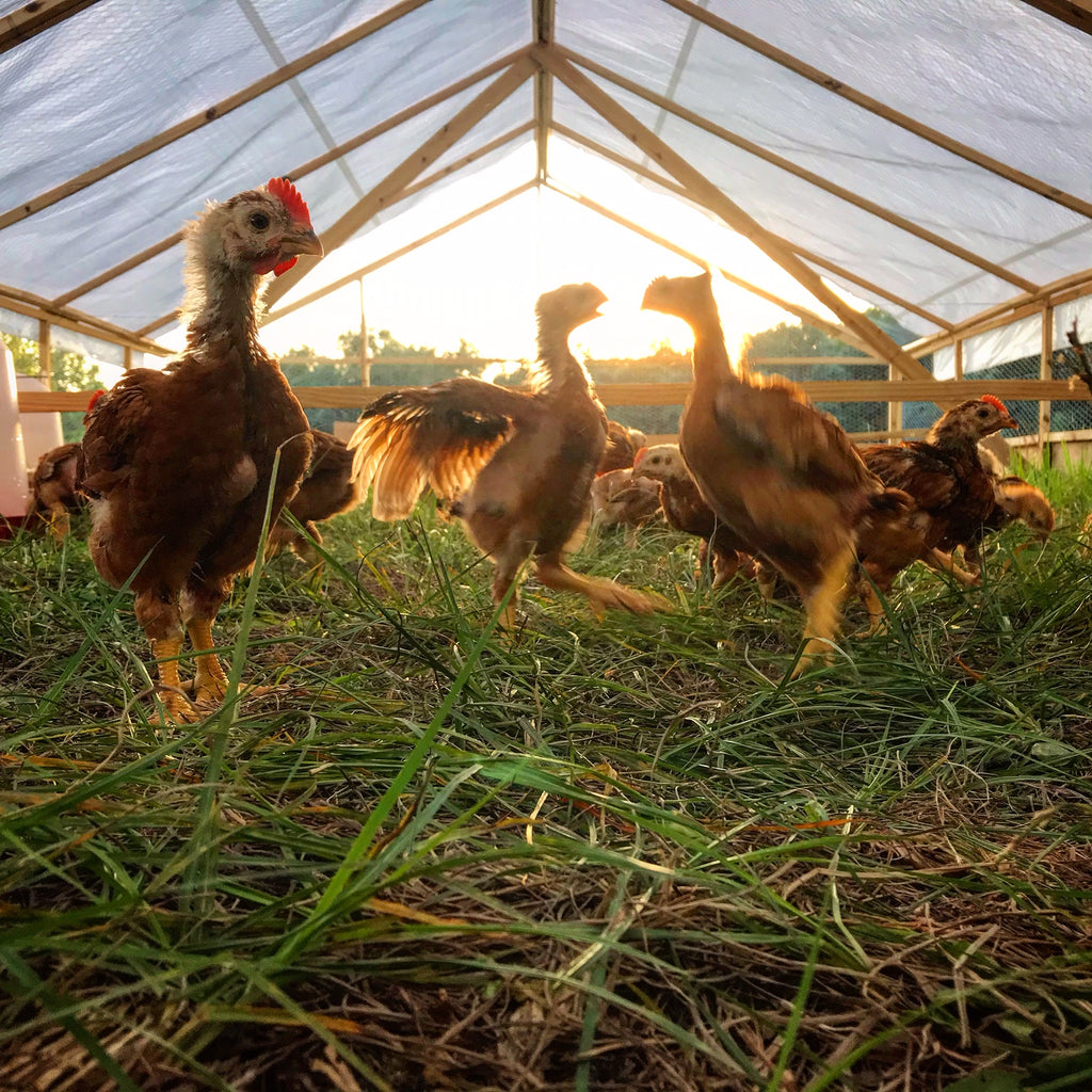 Young chickens on pasture