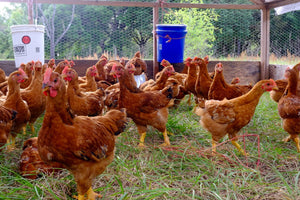 PRE-ORDER: End of May/Early June Pasture Raised Chicken