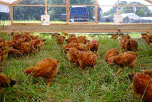 Load image into Gallery viewer, PRE-ORDER: Early October Pasture Raised Chicken