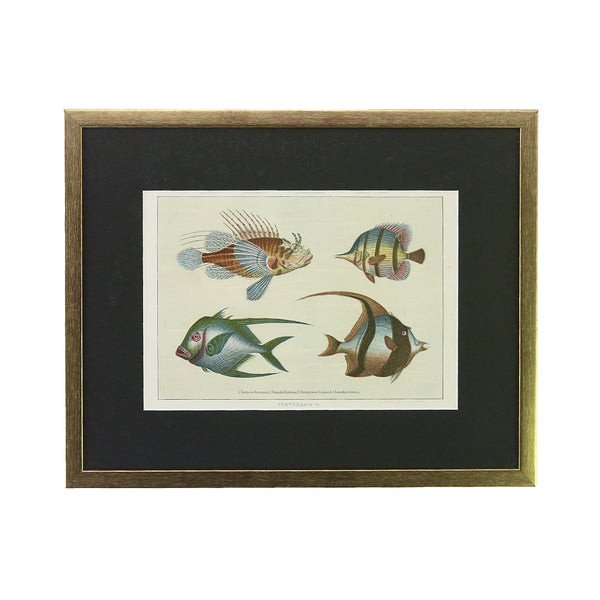 Antique print of Tropical Fish. This one is a print of various tropical fish from the year 1890. It's been framed in a gold coloured wooden frame here in Singapore. The black coloured mount emphasises the beautiful colours of the fish.