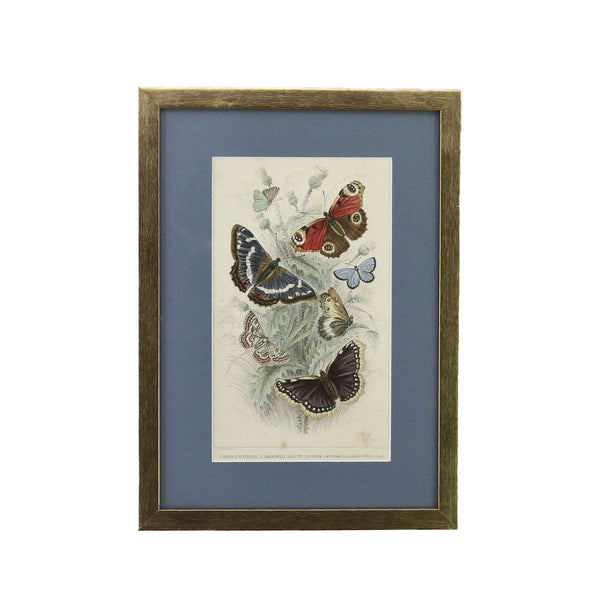 Antique Steel Engraving of Selection of Butterflies. his one is a selection of Peacock, Camberwell Beauty, Purple Emperor, Glanville Fritillary and Grayling Butterflies dated from the year 1852. It's been framed in a gold coloured wooden frame here in Singapore. The light blue coloured mount emphasises the subtle colours of the butterflies.