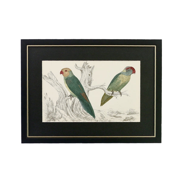 Antique Steel Engraving of Slender and Iris Parakeet. This one is a pair of Slender and Iris Parakeets dated from the year 1852. It's been framed in a black coloured wooden frame with a thin gold rim here in Singapore. The black coloured mount emphasises the beautiful bold colours of the parakeets.