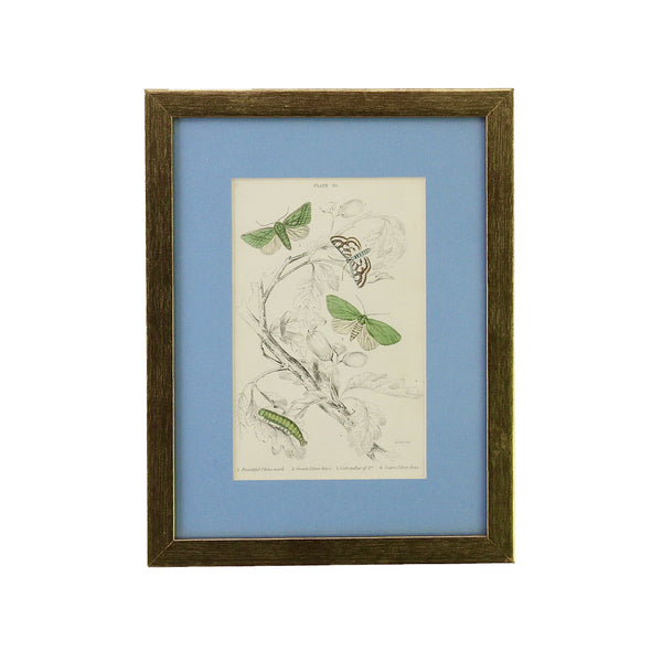 Antique Steel Engraving of Butterflies and Moths. This one is a selection of silver-lines butterflies and China-mark moths dated from the year 1860. It's been framed in a gold coloured wooden frame here in Singapore. The blue coloured mount emphasises the subtle colours of the butterflies.