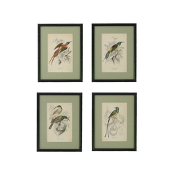 Set of Four antique steel engravings of Tropical Sunbirds