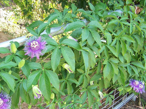 Passionflower - Certified Organic