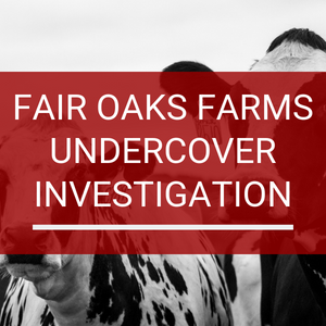Fair Oaks Dairy Farm - Undercover Investigation