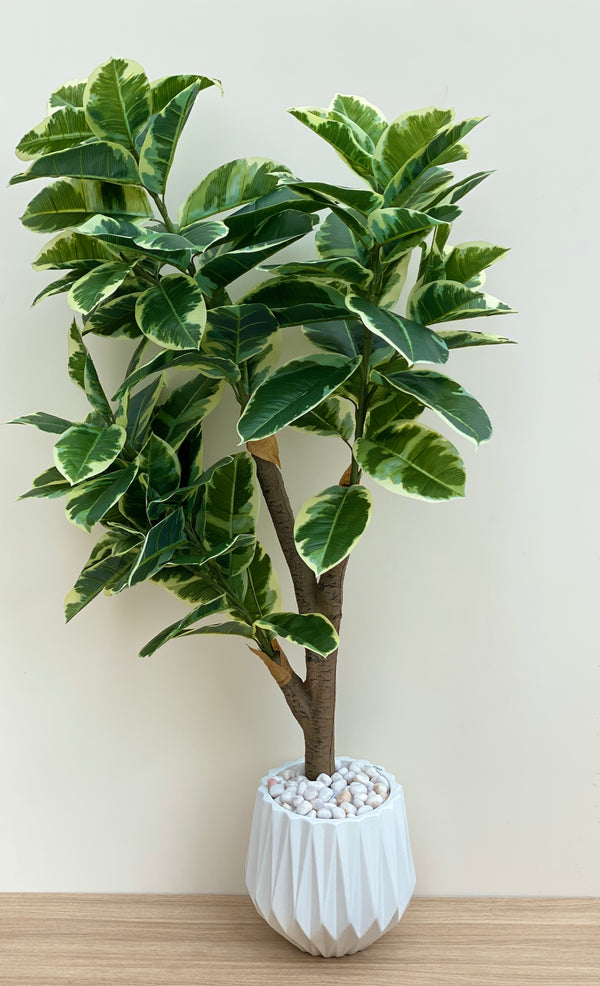 RUBBER FIG TALL PLANT