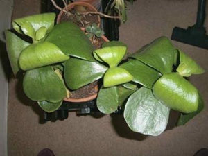Remarkable Large Leaf Plants