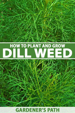 How to Plant and Grow Dill