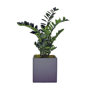 Fibreglass Cube Planter with Zamia