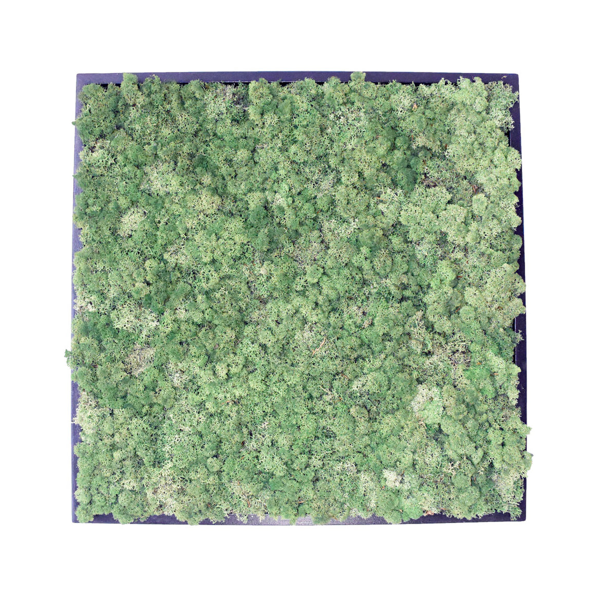 Green Wall - Preserved Reindeer Moss