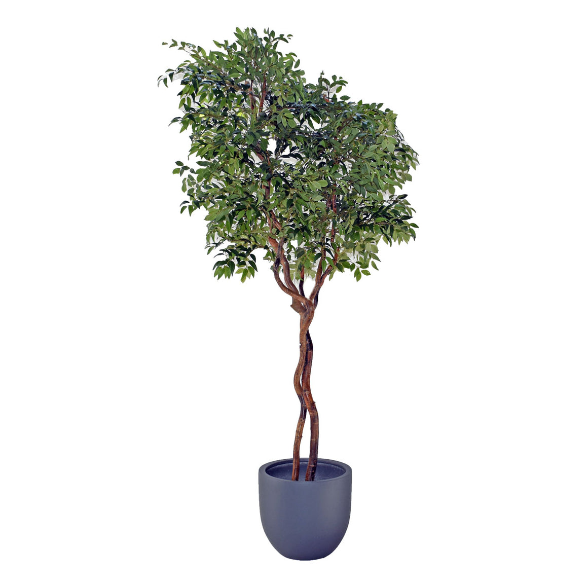 Ficus Tree - Green