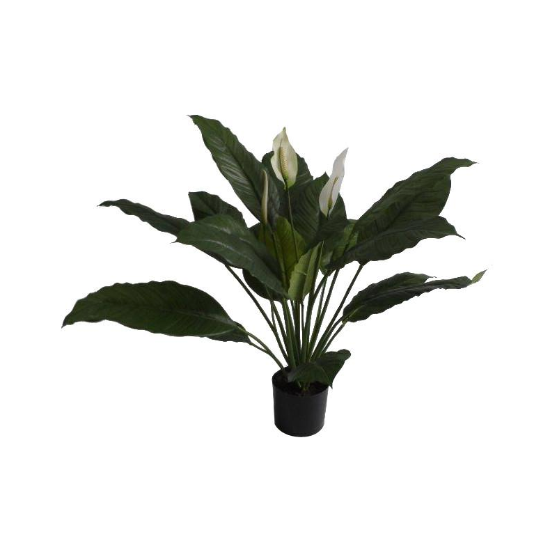 Spathiphyllum or Peace Lily - 2' tall