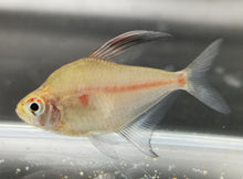 Load image into Gallery viewer, Bleeding heart tetra 4cm