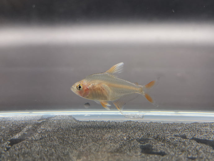 White tipped rosy tetra 2cm