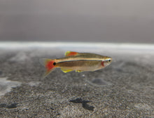 Load image into Gallery viewer, White cloud mountain minnow 1.5cm
