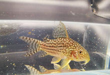 Load image into Gallery viewer, Corydoras sterbai 2.5cm