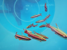 Load image into Gallery viewer, Red coral pencilfish 2.5-3cm