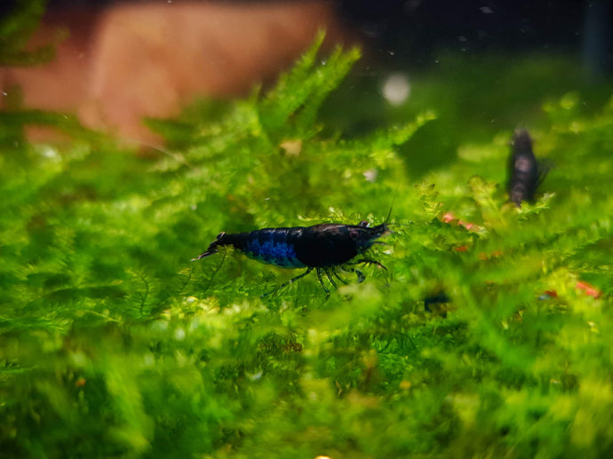 Blue diamond shrimp 1-1.5cm