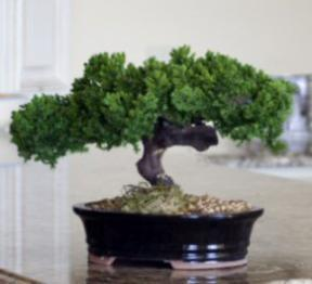 Surprised Fake Bonsai Tree