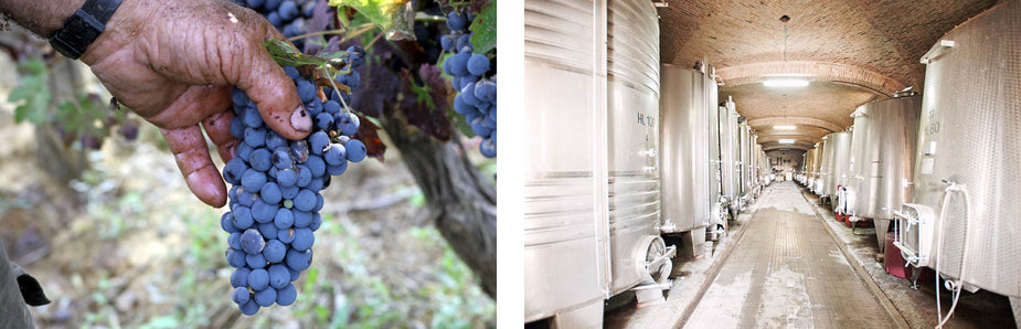 Cabernet Sauvignon Grapes and the Terriccio Wine Cellars