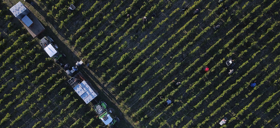 Harvest at Château Haut-Bailly, 25th September 2017, drone picture taken by Florent Larronde