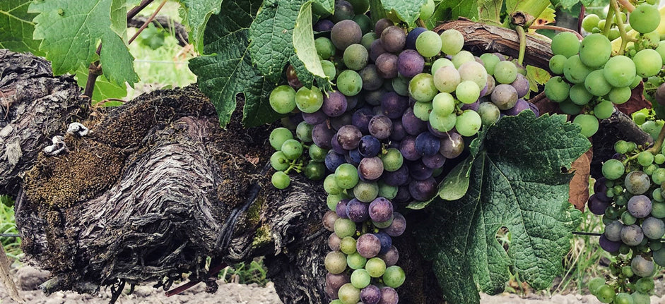 Veraison-at-Chateau-Haut-Bailly-July-24th