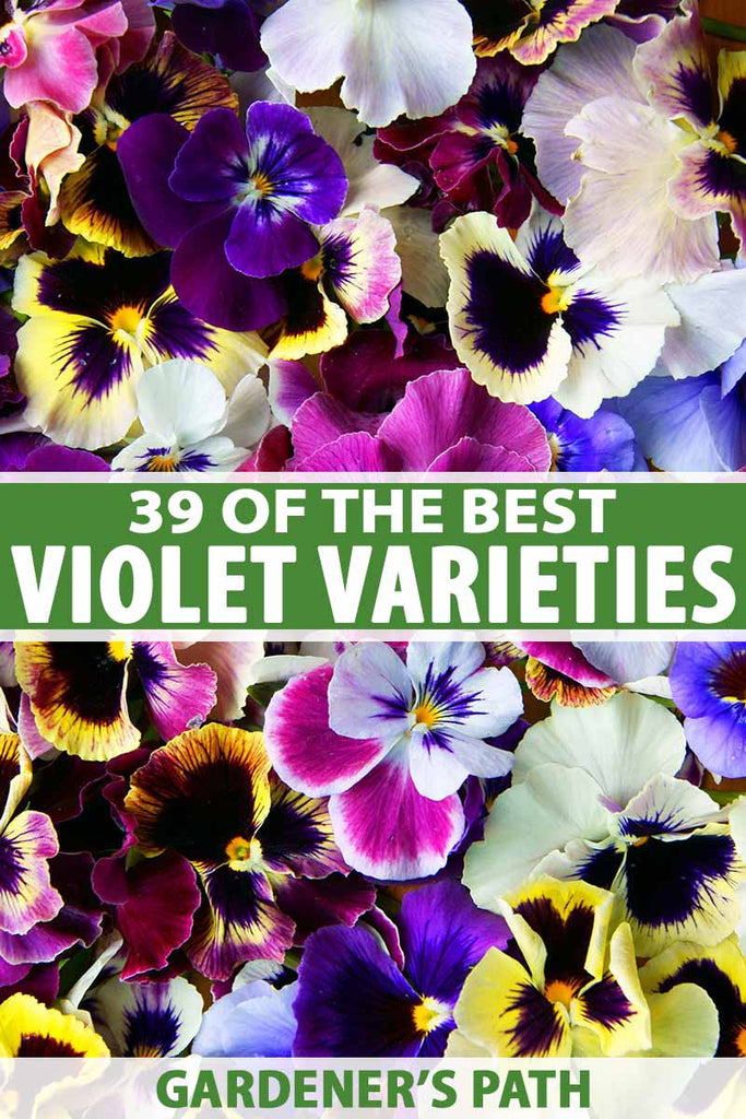 39 of the Best Violet Varieties