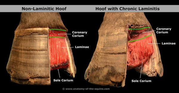 A Holistic Approach to Equine Laminits