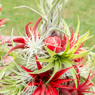Caring for Air Plant Christmas Trees
