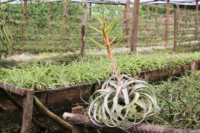 Sustainable Farming: Cultivation of Tillandsia Xerographica