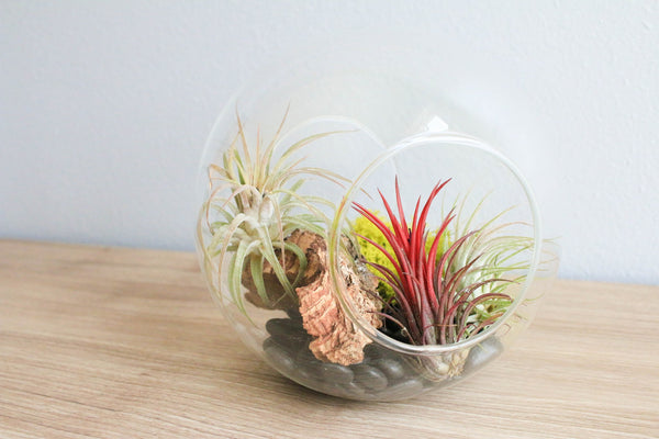 Pink Sea Urchin Air Plant Display with air plant and Spanish moss