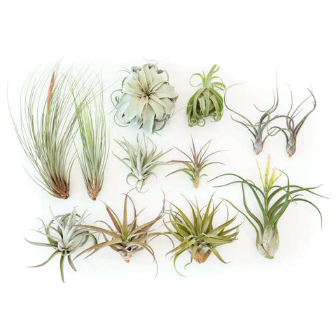 Air Plant gifts gifting mothers day supply co