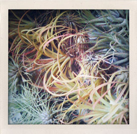 contact about us air plant supply co. Black Bedroom Furniture Sets. Home Design Ideas
