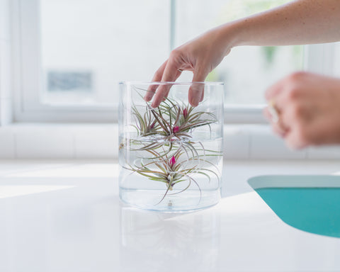 air plant tillandsia care how to watering