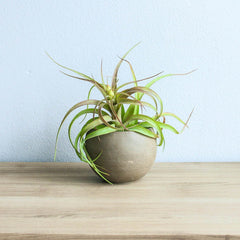 Air Plant Gift Mother's Day Tillandsia