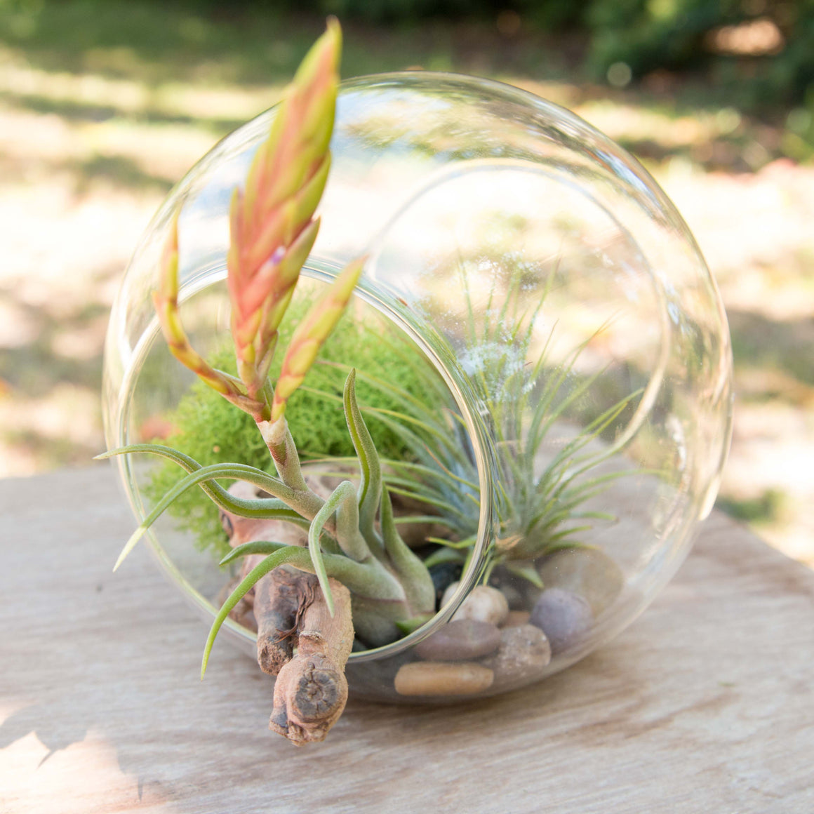 Stay Home DIY Terrarium Kit with Blooming Medusa, Ionantha and Downloadable Lesson Plan + Activities