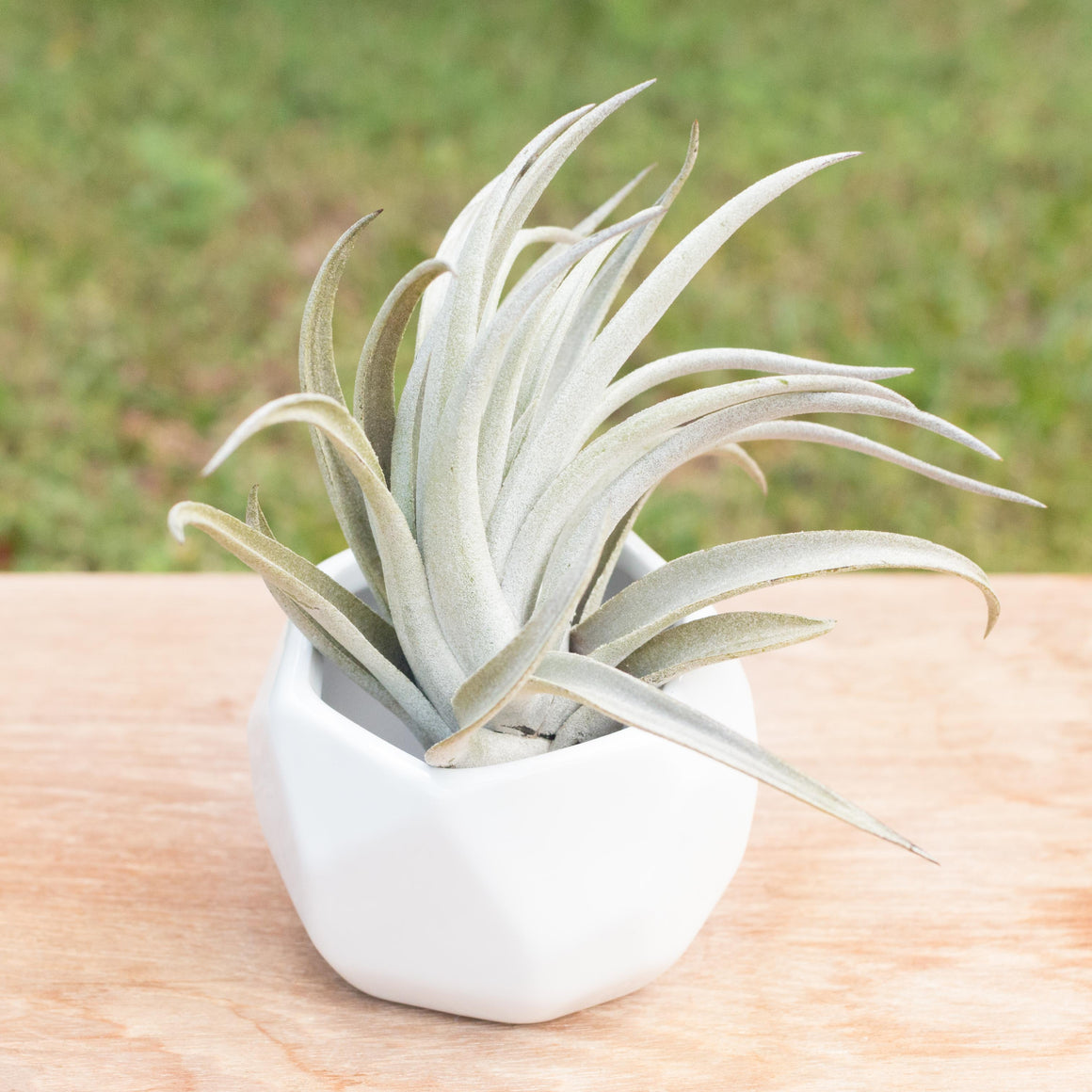 SALE - Large Tillandsia Harrisii Air Plants - Set of 10, 15, or 20 Plants - 60% Off