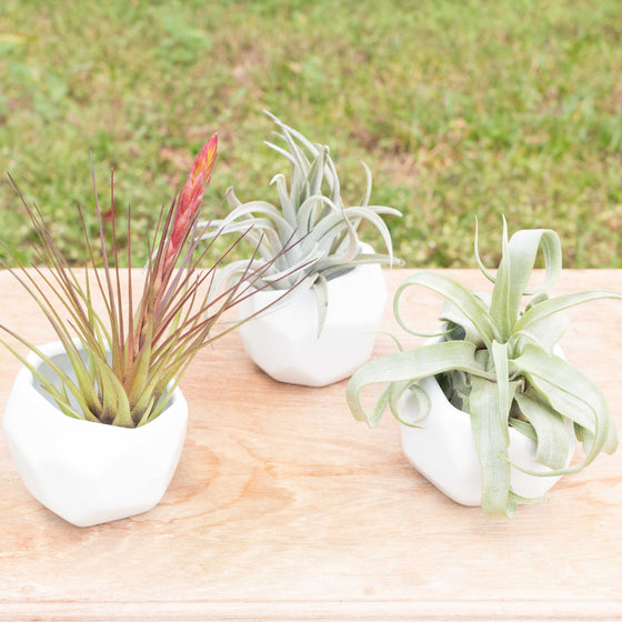Trio of White Geometric Ceramic Containers with Assorted Air Plants