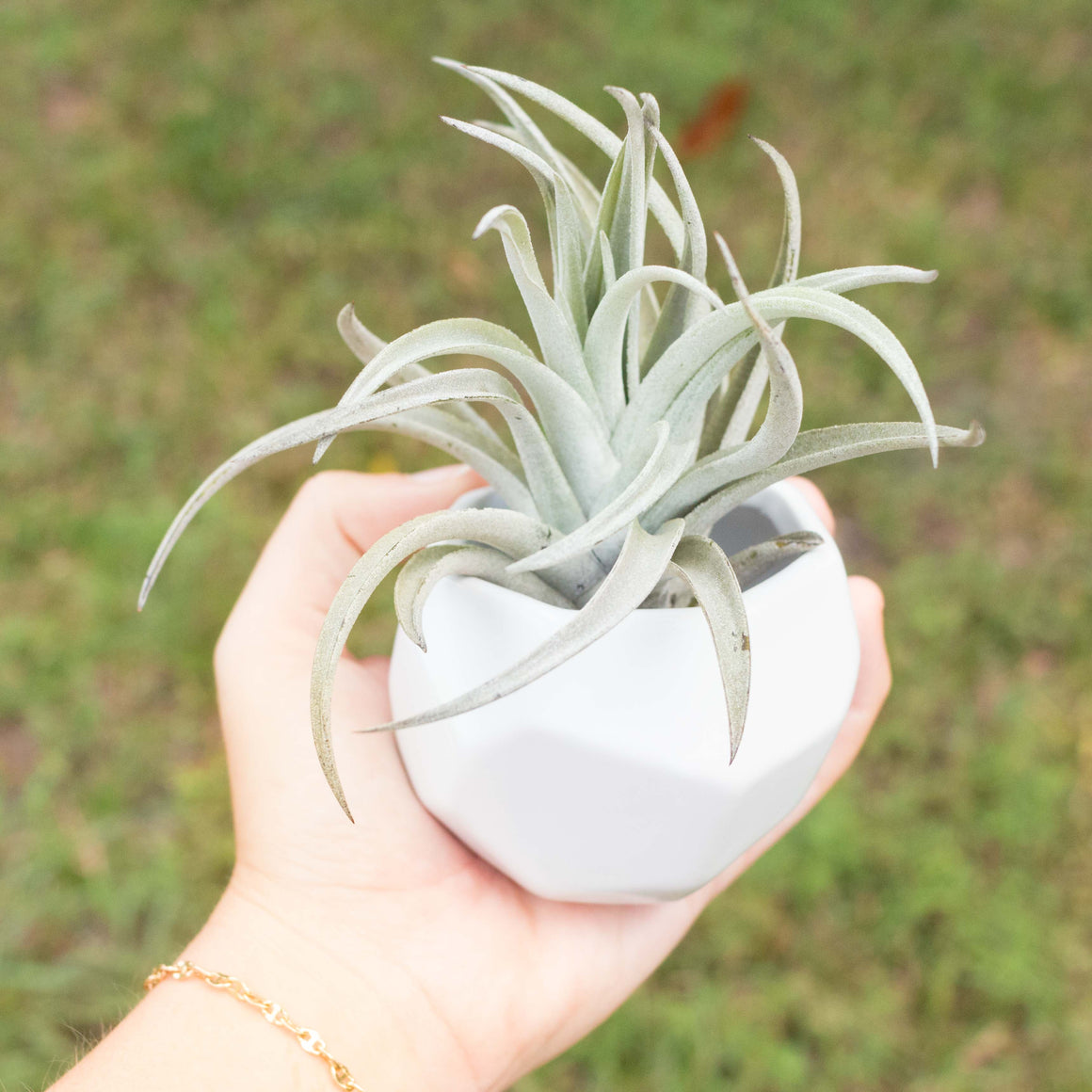 Wholesale - Geometric Ceramic Container with Assorted Large Air Plants