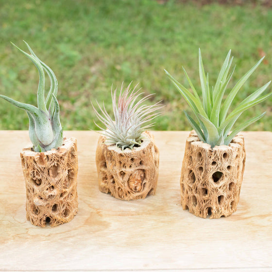 Trio of Natural Cholla Wood Containers with 3 Assorted Tillandsia Air Plants