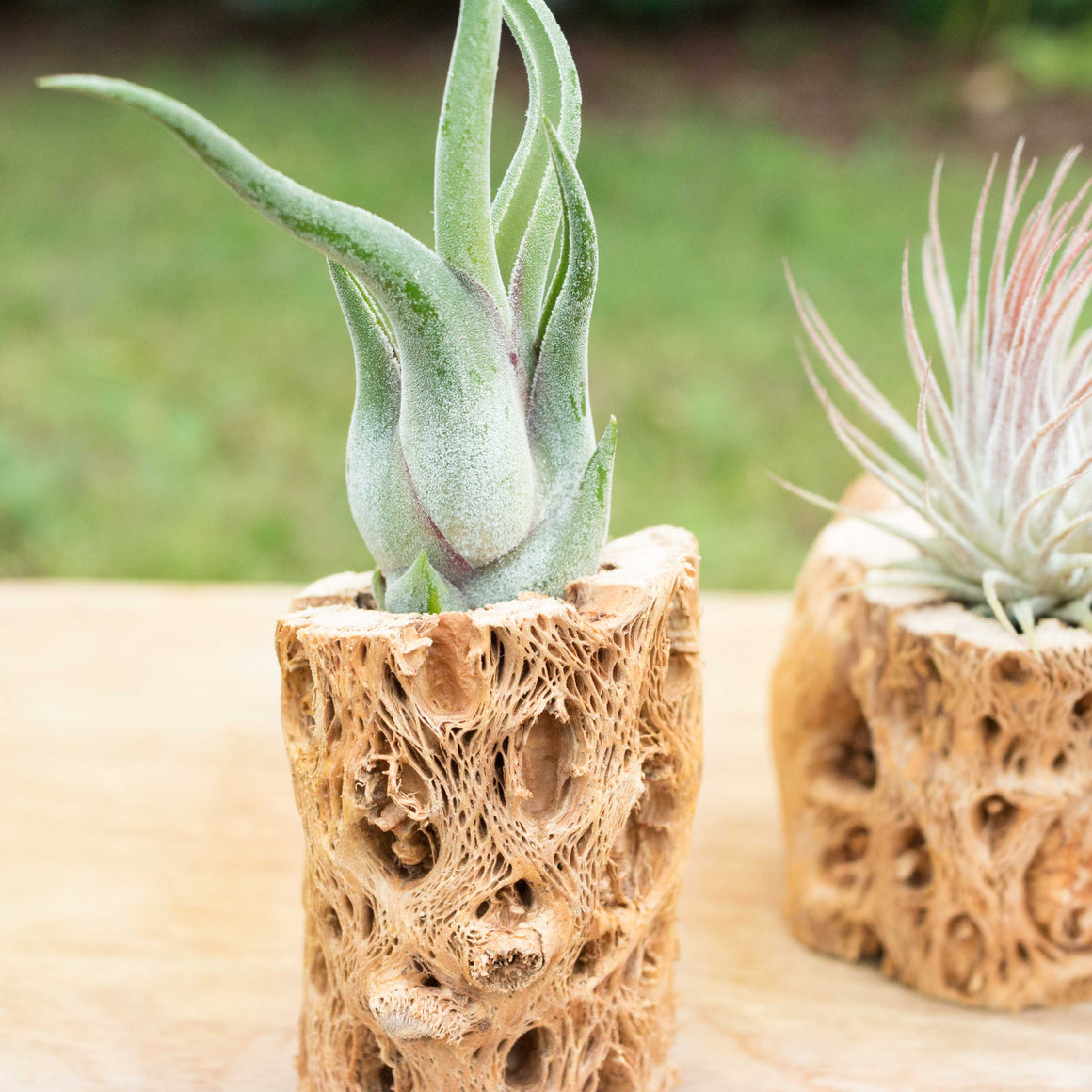 Natural Cholla Wood Container - 3 Inches Tall with Assorted Air Plants
