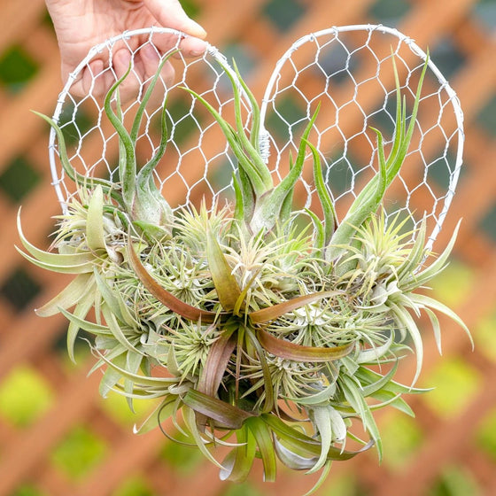 Air Plant Heart Arrangement