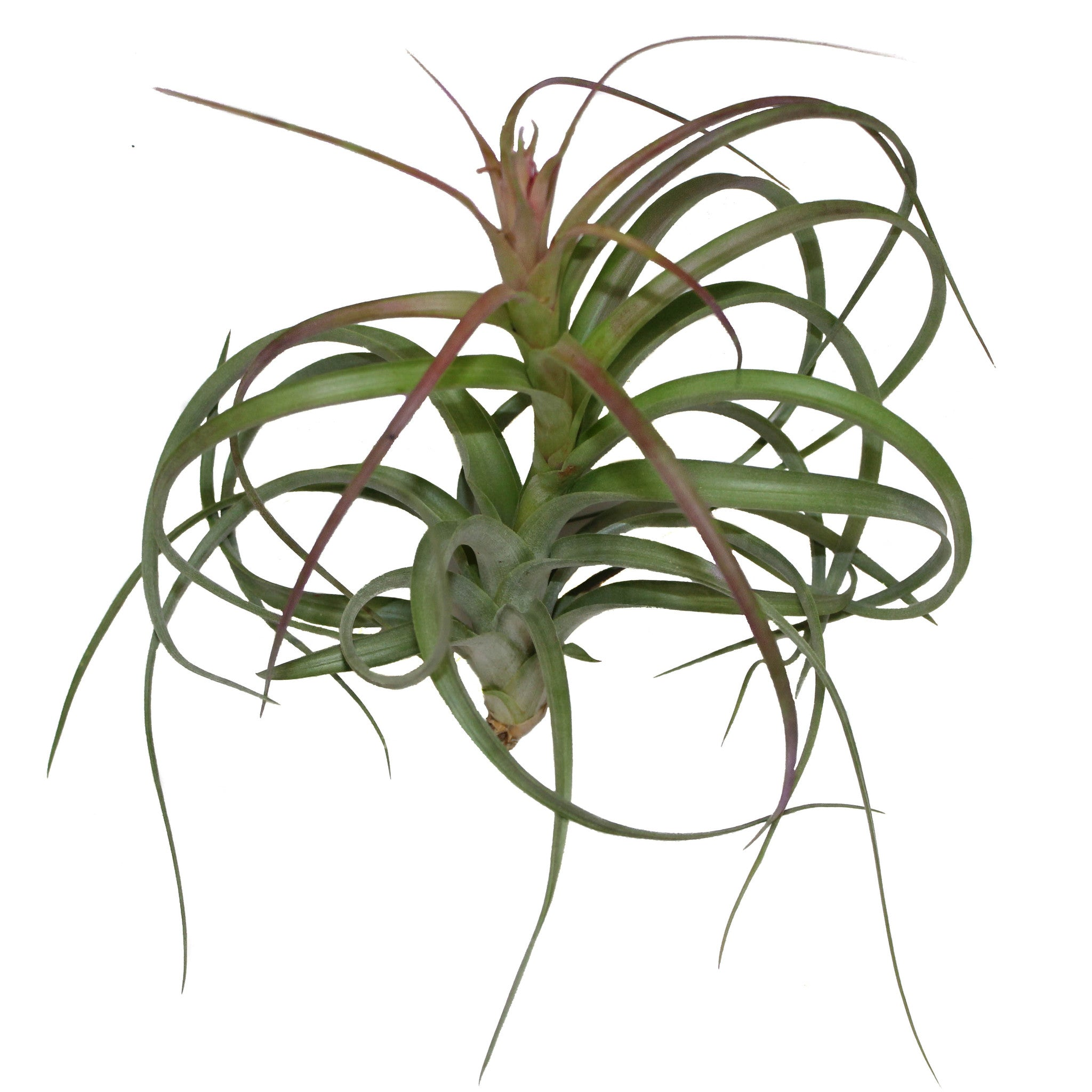 Sale Collector S Choice Collection Of Air Plants 40 Off Free Sh